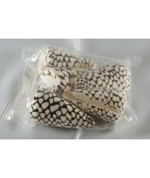 Shell Conus Marmoreus