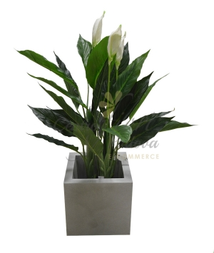 SPATHIPHYLLUM ARTIFICIALE